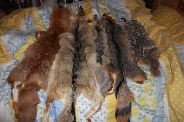 Pelts Still For Sale by romancer