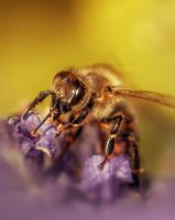 The Bee by thenSir