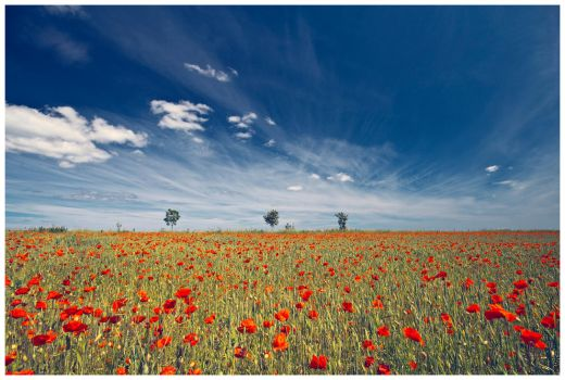 Poppy Field by newcastlemale