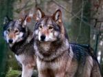 Timberwolves Canis lupus lycaon by TheFunnySpider