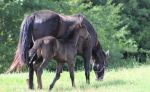 Mare and Foal 37 by MountainViewStock