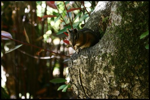 Red Woods Chipmunk by KidThink