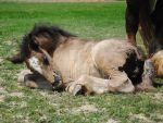 Sleeping Gypsy Vanner Foal - Stock by Synyster-Stock