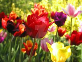 Tulips Color by kumArts