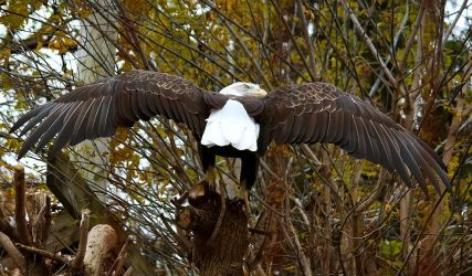 Bald Eagle Stock 4: Wings by HOTNStock