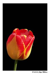Red and Yellow Tulip by Tazzy-