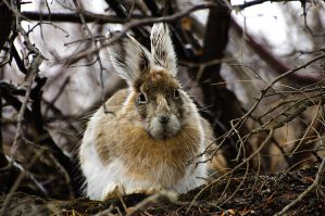 Bunny Denali 2010 by JWFisher