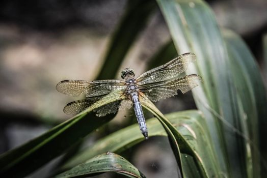 Dragonfly by Pammiesphotography