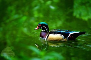 Wood Duck Reflection by JEnglePhotography