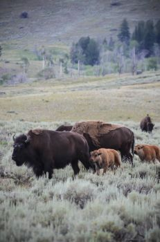 Bison Herd 08 by liorelysia