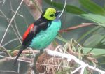 Paradise Tanager 001 by Elluka-brendmer