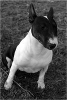 Smeagol my bull terrier by donniebrasco