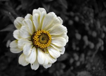 Flower - Colorkey by marc-bruno