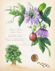 Botanical Illustration: passiflora by Soji-chan