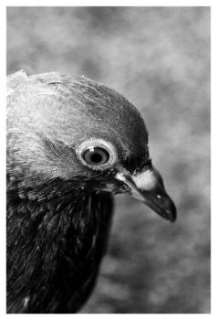 pidgeon by Nikopolated
