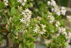 Jade Plant Blooming by cognisant