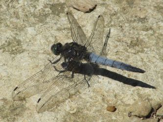 Black tailed skimmer by Sia-the-Mawile