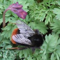 Red-tailed bumblebee by Yawn-Monster