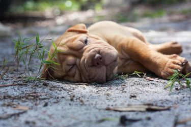 Shar-Pei Puppy Taking a Nap by JohnstonIanA