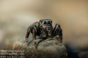 Male Evarcha arcuata beeing curious by TheFunnySpider