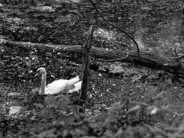 First Swan by KBeezie