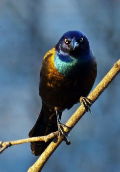 Grackle Stare by barcon53