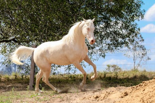 KR Arabian cremello canter rear launch side view by Chunga-Stock