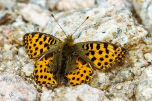 Butterfly Issoria lathonia on rock by VitoDesArts