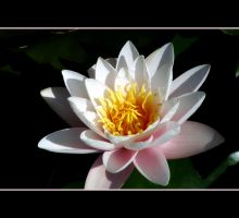A Water Lily by Vividlight
