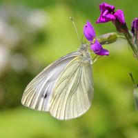 Cabbage White Butterfly by Leavylaulada