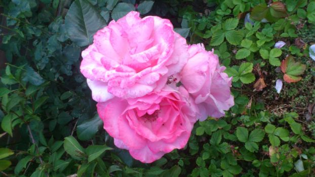 2 light red rose from the garden by tigerhawkfurrylover