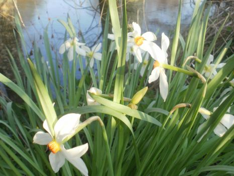 Wild Daffodils By The River by DemonsWrathPhotos