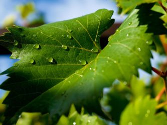 Vine leaf after rain by knafelc