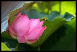 Lotus IV by fire