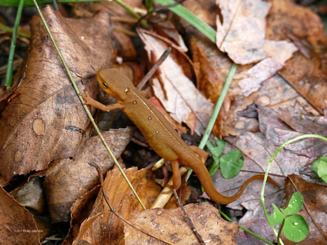 The Eastern Newt Eft Traveling by Mogrianne
