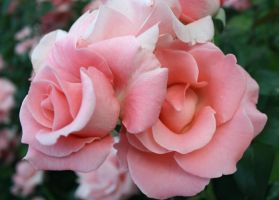 A Pair of Pink Roses by Thundercatt99