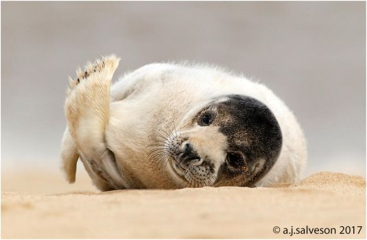Grey Seal Pup. by andy-j-s