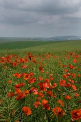 Poppy Field by Sassy-Stock