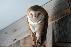 Barn Owl Perch by 8TwilightAngel8
