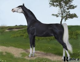 Araian Stallion by Ravica