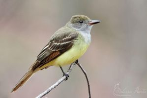 Great Crested Flycatcher by mydigitalmind