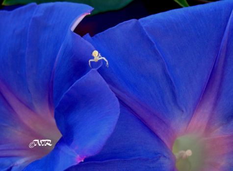 Morning Glory by igarcia