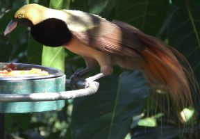 Bird of Paradise 4 by dtf-stock