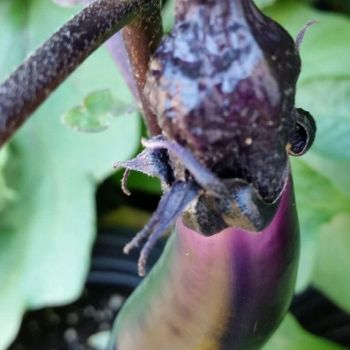 Eggplant dying by MurcMarischal