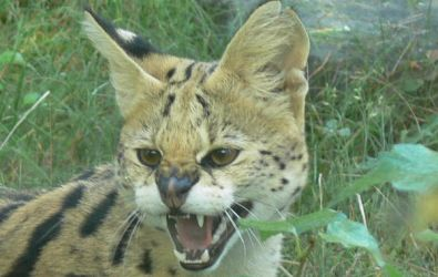Serval by robkubo