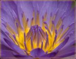 Water Lily innards by justfrog