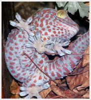 Tokay Gecko Stock by TalkStock