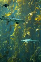 Cruisin' the kelp forest by FeralWhippet