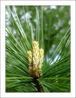 Pine Tree 4 by MichelleMarie