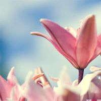 lilys by nevermike